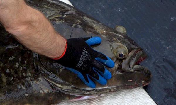 vancouver-island-halibut
